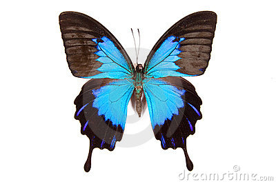 Black and blue butterfly Papilio ulysses isolated