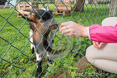 Hungry goat eating grass from hand. Animal feeding on the farm, feeding time at the petting zoo. Farm and farming concept, village