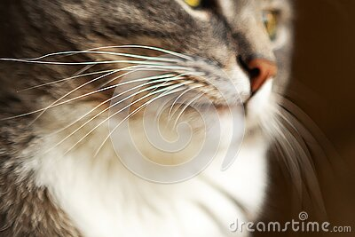Grey cat whiskers