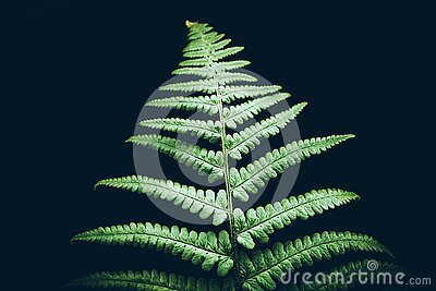 Beautiful perfect natural fern leaves on black background Green natural concept Life growth concept