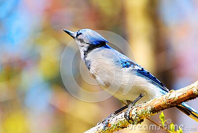 Beautiful blue jay bird with bright color background