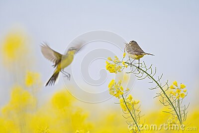 A female yellow wagtail perched with nest material in its beak on the blossom of a rapeseed field. With the male flying in front o