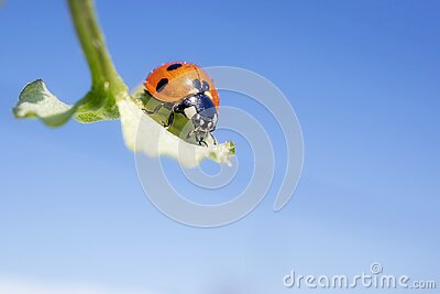 Ladybug on a green plant against the sky. The concept of nature, spring, summer.