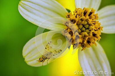 Housefly closeup - Housefly sitting on a pretty white and yellow flower isolated on green background sun light