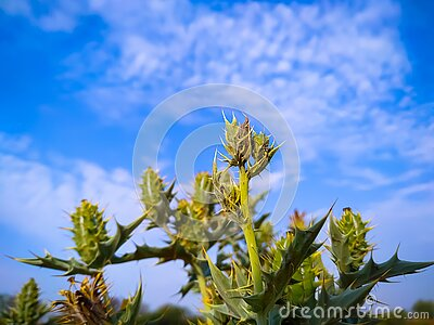 Close-Up of Mexican Prickly Poppy  plant against sky