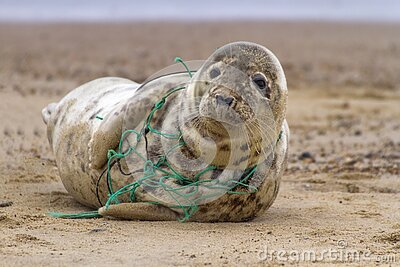 Tragic Seal Caught in Net