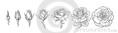 Rose blooming from closed bud to fully open flower. Hand drawn sketch style set. Vector illustration isolated on white