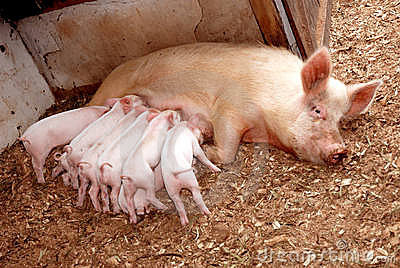 Feeding piglets with sow