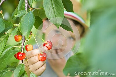 The child is picking cherries in the garden. Little boy tears sweet cherry from a tree in the garden. Selective focus