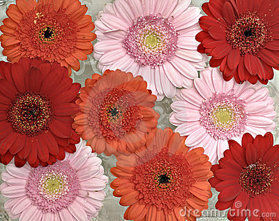 Pink, orange and red Gerber