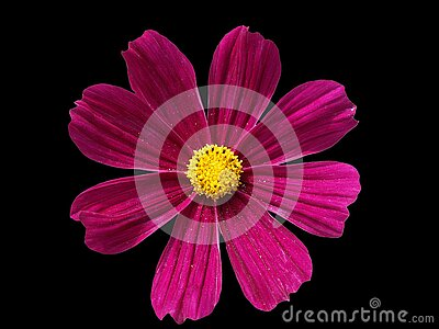 Purple cosmo flower isolated against a black backround