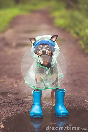 Concept of autumn and rain. Funny dog in a hat, rubber boots and raincoat standing in a puddle on a forest path, portrait