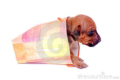 Puppy crawling out of gift bag