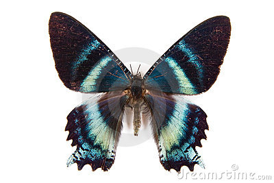 Black and blue butterfly Alcides argathyrses