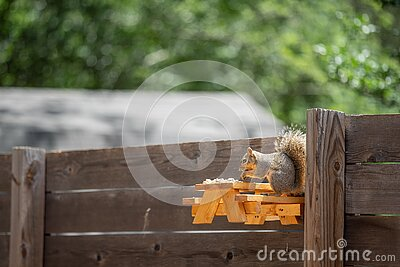 Squirrel on the wooden home-made picnic table