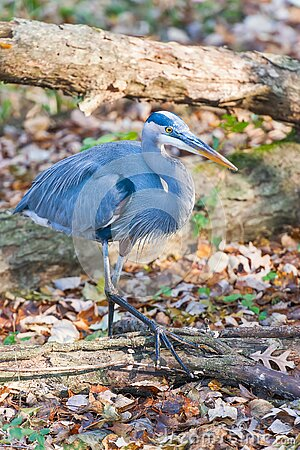 Great Blue Heron walking in the Chesapeake and Ohio Canal National Historical Park.Maryland.USA