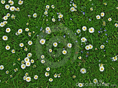 Lawn with many white daisies