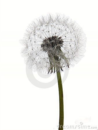 Dandelion clock seedhead isolated on white