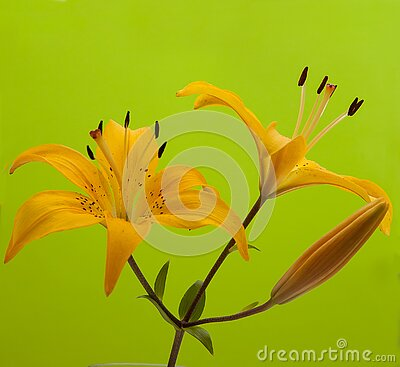 Flowers are yellow lilies, unfolded sideways on a green background