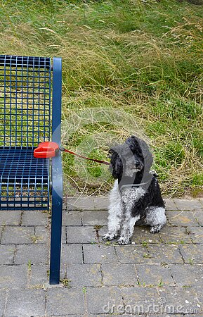 Leashed poodle is waiting for his owner