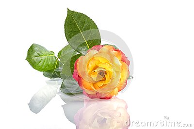 A two color rose next to other flowers isolated