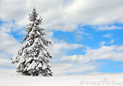 Evergreen in the snow