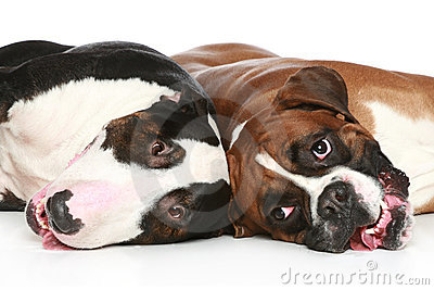 Bull Terrier and boxer resting