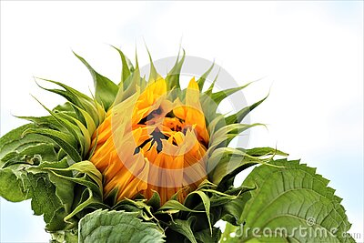 Sunflower,just opening with green leaves against a cloudy sky
