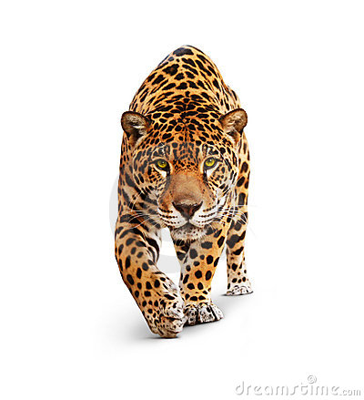Jaguar - front view, isolated on white, shadow.