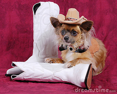 Chihuahua dog with cowboy hat & boots