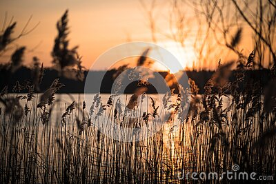 Golden sunset behind reed at a lake in the woods of Brandenburg Germany