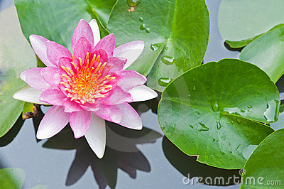 Water Lily Or Lotus Flower Floating On Pond