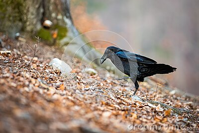 Black common raven walking on leafs in autumn nature.
