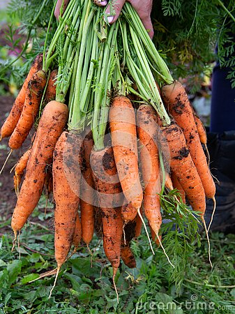 A bunch of freshly dug carrots