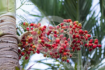 Close-up of red fruit of foxtail palm tree