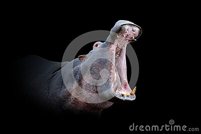 Hippo isolated on black background