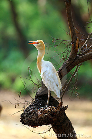 Common cattle egret