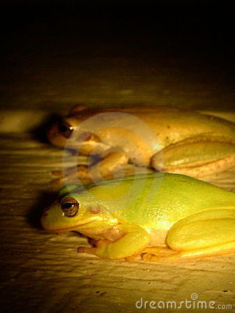 twin Frogs
