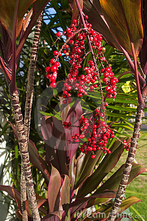 Hawaiian Red Ti Leaf and red berries