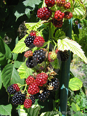 Blackberries 1/2