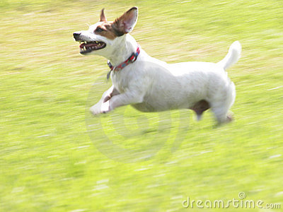 Jack Russell Terrier JRT Jacob Running 01