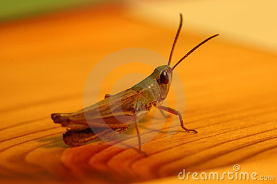 Grasshoppen on the table