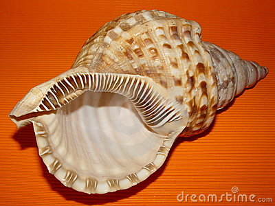 Sea shell on Orange Background