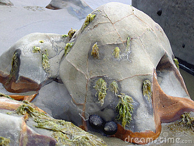 Algae covered seaside boulder