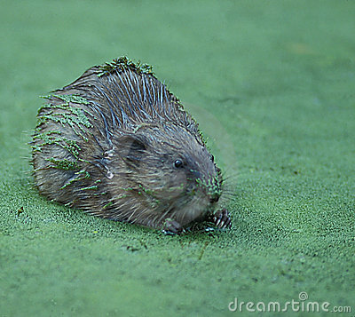 Muskrat in Duckweed