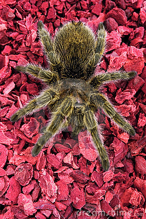Rose-hair Tarantula Spider on Red
