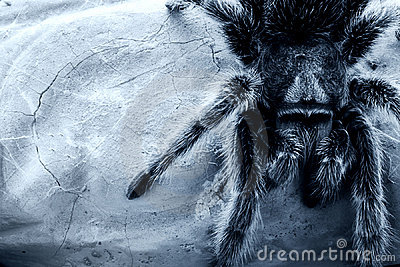 Rose-hair tarantula spider