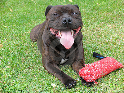 American Staffordshire Terrier 1/2