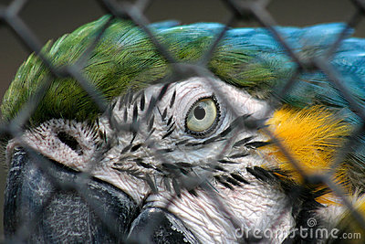 Blue Yellow Macaw in Captivity
