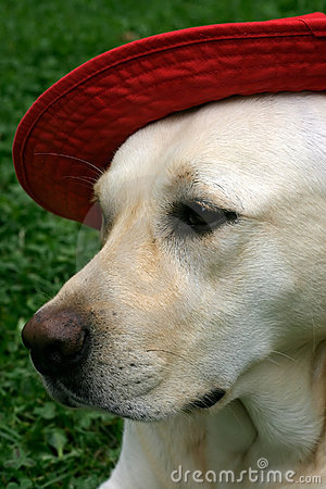 Labrador with red hat